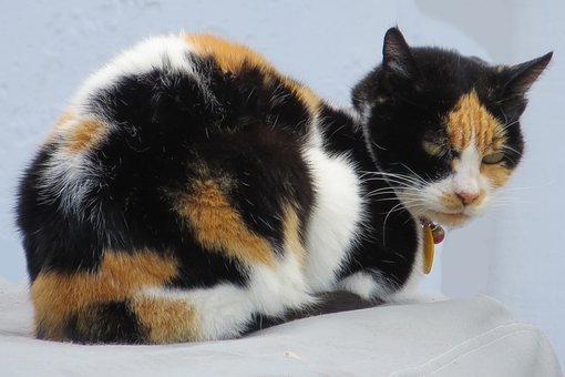 Cat, Calico, Feline, Pet, Animal, Fur, Pattern, Collar