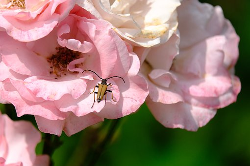 Beetle, Insect, Bug, Stictoleptura Rubra, Leptura Rubra