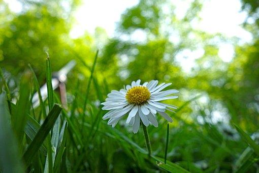 Daisy, Field, Landscape, Nature, Bloom, Petals