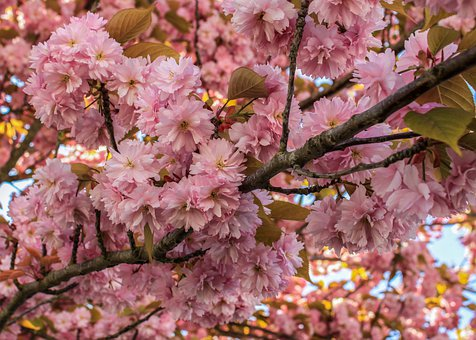 Cherry Blossom, Flowers, Tree, Blossom, Bloom, Branch