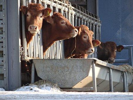 Cows, Cattles, Farm, Countryside, Animals, Mammal