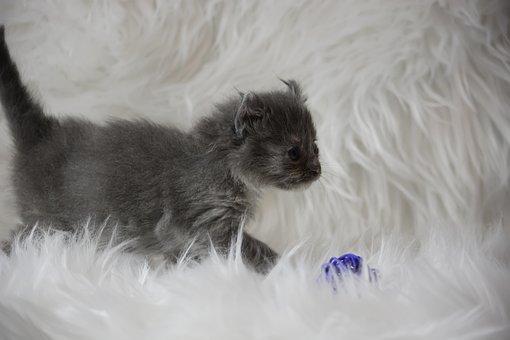 Kitten, Cat, Pet, Animal, Cute, Little, Charming, Furry