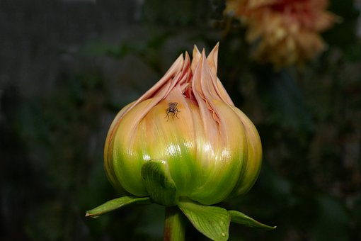 Dahlia, Bud, Fly, Close Up, Flower, Insect, Flora