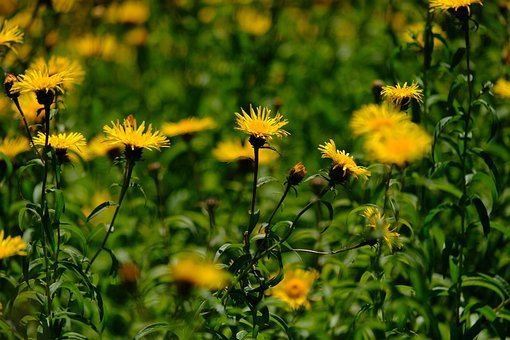Flower, Daisy, Willow-leaved Alant, Blossom, Bloom