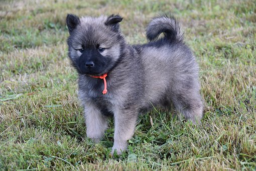Puppy, Pup, Dog, Adorable, Young Eurasier, Doggy