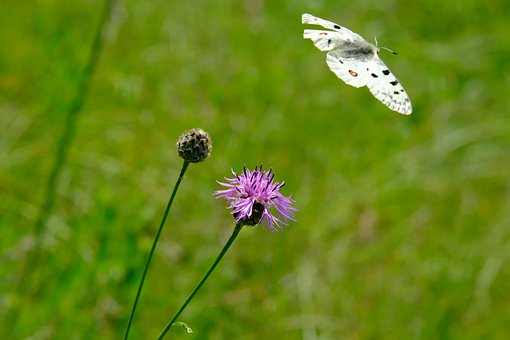 Butterfly, Apollo, Flower, Thistle, Edelfalter