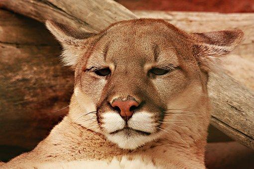 Lion, Mountain Lion, Feline, Cougar, Nature, Wildlife