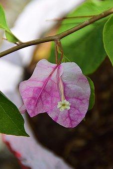 Flower, Blossom, Bloom, Bougainvillea, Plant, Flora