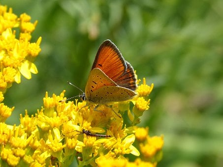 Butterfly, Flower, Yellow Flower, Lycaena Phaleas