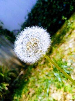 Dandelion, Garden, Plant, Spring, Grass, Flower, Nature