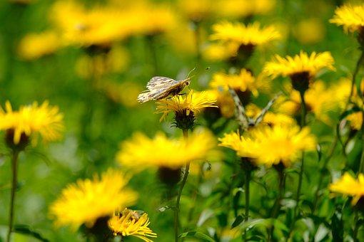 Butterfly, Vanessa Cardui, Flower, Daisy, Torn