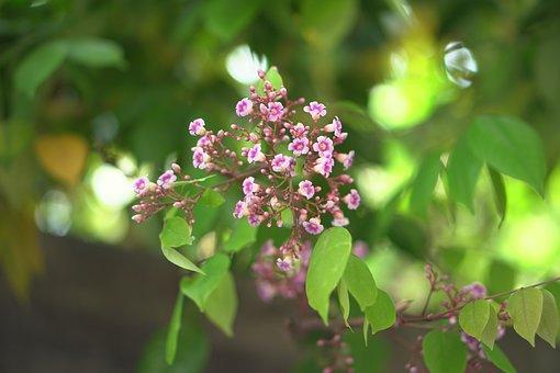 Star Fruit, Flowers, Blossom, Bloom, Averrhoa Carambola