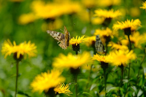 Butterfly, Insect, Wings, Flowers, Daisy