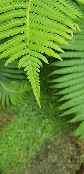 Fern, Leaves, Plant, Greenery, Nature, Foliage, Green