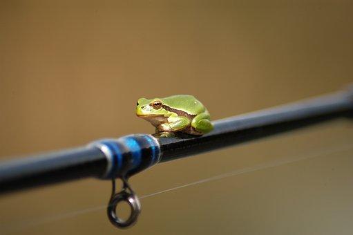 Tree Frog, Frog, Amphibian, Frog On A Fishing Rod