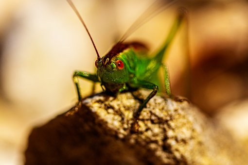 Grasshopper, Insect, Bug, Antenna, Eyes, Rock, Nature