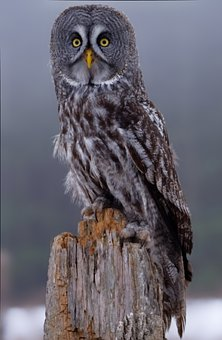 Gray Owl, Owl, Bird, Beak, Feathers, Plumage, Animal
