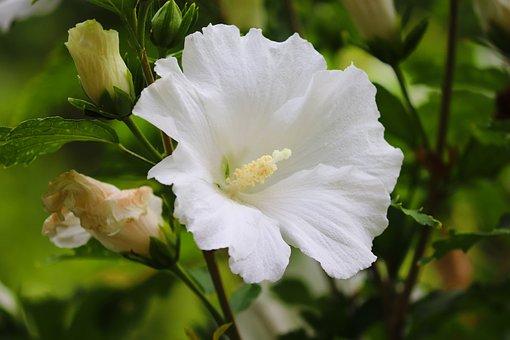 Hibiscus, Hibiscus Syriacus, Hibiscus Marina