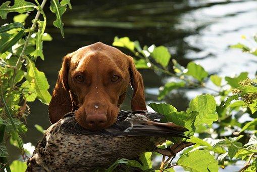 Dog, Vizsla, Hunting Dog, Hunting Training, Retrieve