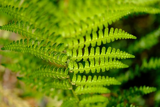 Fern, Leaves, Plant, Nature, Flora, Green, Fronds