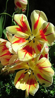 Flowers, Tulips, Petals, Leaves, Foliage, Blooming