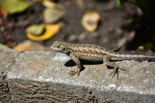 Lizard, Western Fence Lizard, Reptile, Ground, Leaves