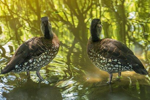 Ducks, Birds, Animal, Nature, Plumage, Water, Lake