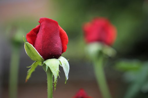 Red Velvet Roses, Rose Buds, Flowers, Flora, Nature
