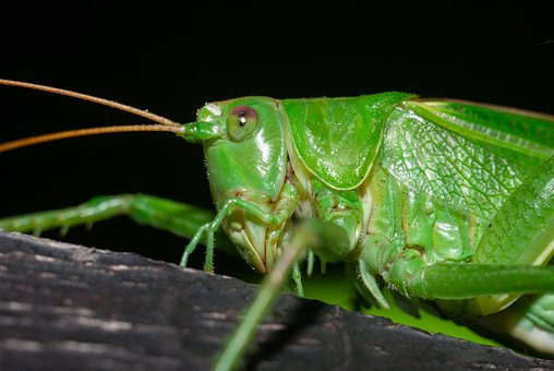 Grasshopper, Insect, Animal, Bug, Nature, Wildlife