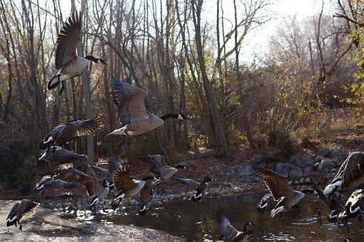 Goose, Geese, Water Fowl, Water, Wildlife, Fowl, Nature