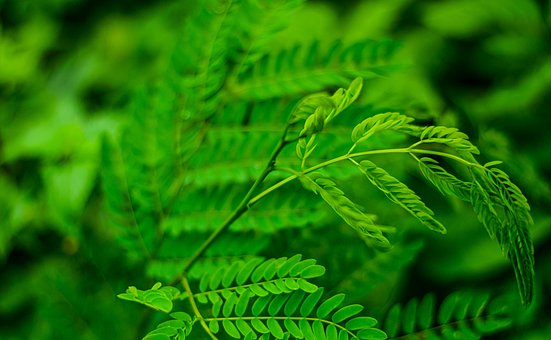 Leaves, Plant, Green, Tamarind, Nature, Stalk