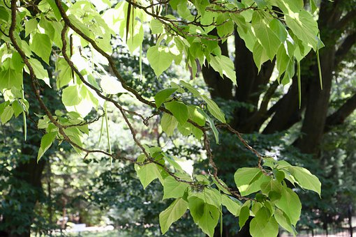 Tree, Leaves, Branches, Foliage, Botanical Garden, Pods