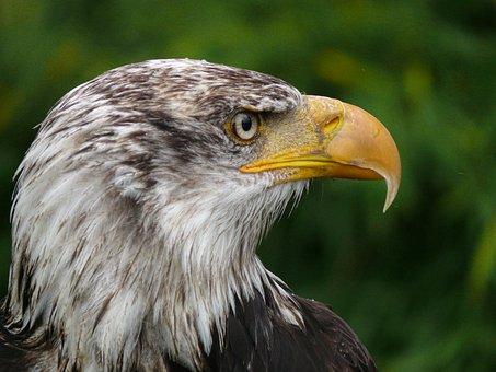 Adler, Raptor, Bird Of Prey, Bird, Bill, Plumage