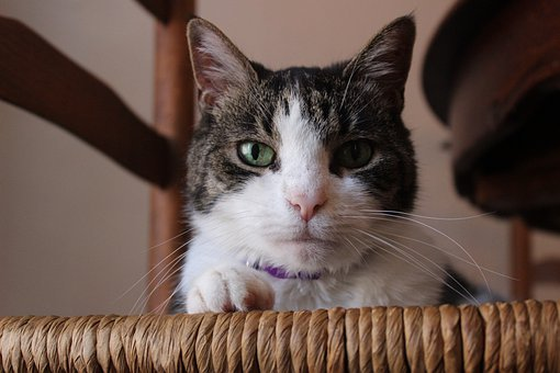 Cat, Serious, Serious Cat, Pet, Portrait, Animal