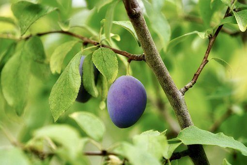 Plum, Tree, Plum Tree, Fruit Tree, Fruit, Stone Fruit