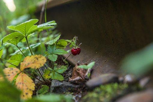 Forest, Berries, Wild Berries, Russia, St Petersburg