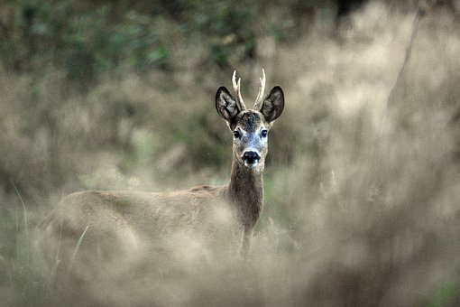 Deer, Antler, Wild, Tom, Coat, Animal, Forest, Fur