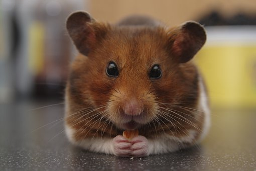 Hamster, Syrian Hamster, Golden Hamster, Pet, Animal