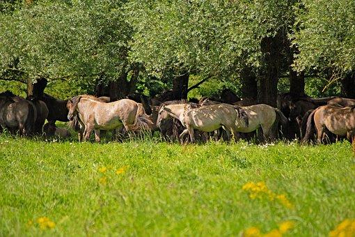 Konik Horses, Wild Horses, Herd, Stallion, Animals