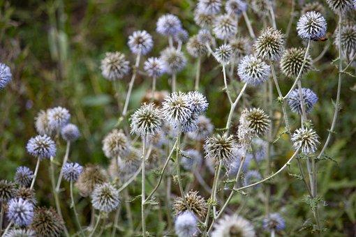 Flowers, Echínops, Asteraceae, Globe Thistles, Thorns