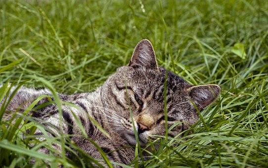 Cat, Kitten, Feline, Pet, Domestic, Grass, Nature, Fur