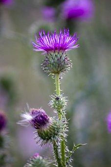 Purple Flower, Thistle, Thorns, Purple, Cirsium