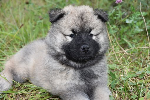Puppy, Dog, Pet, Eurasier, Eurasian Dog, Doggy, Cute