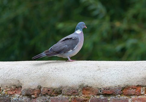 Pigeon, Wall, Wood Pigeon, Feathers, Wildlife, Bird