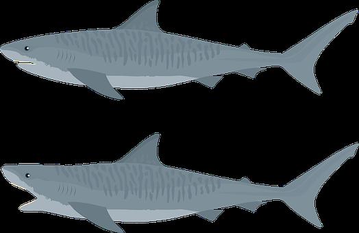 Shark, Tiger Shark, Fish, Sea, Dangerous, Teeth, Water