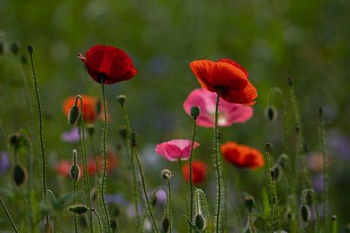 Flower Meadow, Flower, Poppy, Wild Flowers, Petals