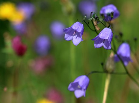 Flowers, Petals, Stems, Harebell, Wildflowers, Meadow