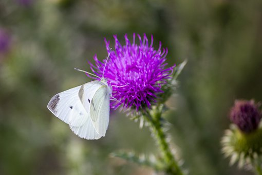 Purple Flower, White Butterfly, Butterfly, Insect