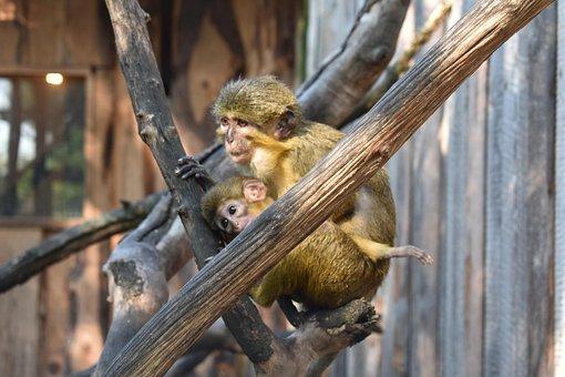 Monkeys, Primates, Apes, Creature, Tree, Mammal, Zoo