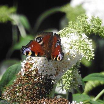 Butterfly, Peacock Butterfly, Eyespots, Flower, Nature